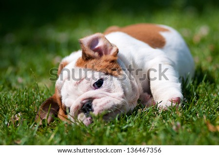 english bulldog puppy resting on the grass - stock photo