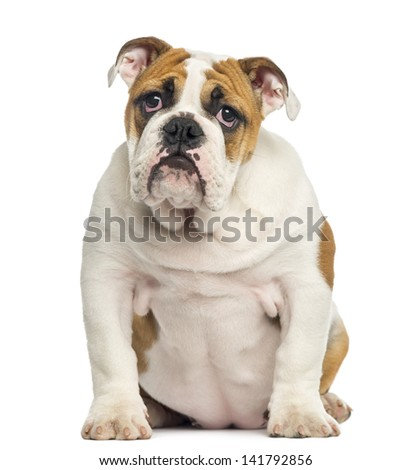 English Bulldog puppy sitting, looking desperate, 4 months old, isolated on white