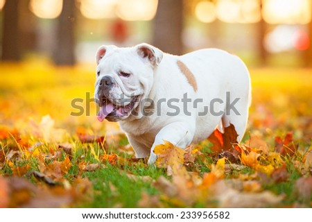 English bulldog puppy walking in the park in autumn - stock photo