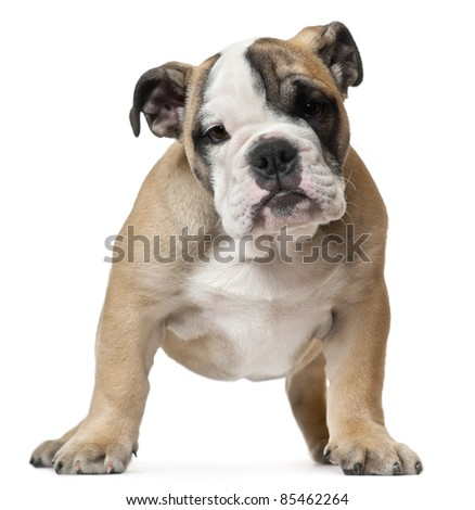 English Bulldog puppy, 11 weeks old, standing in front of white background - stock photo