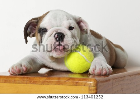 English Bulldog Puppy with Tennis Ball - stock photo