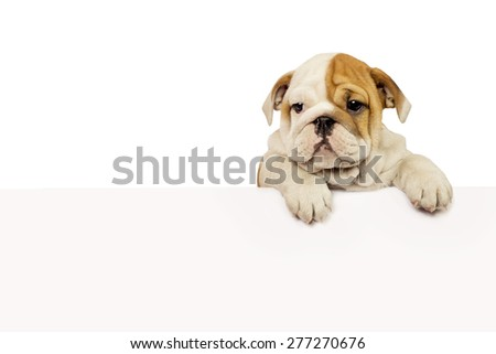 English Bulldog puppy with white banner isolated on white. - stock photo
