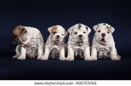 ENGLISH Bulldog puppys on dark background - stock photo