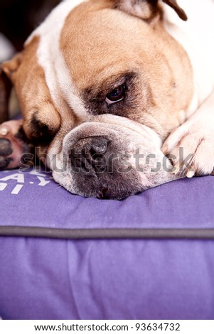 English Bulldog resting on a lilac bed