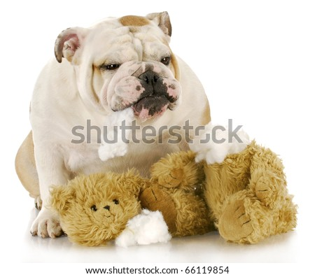 english bulldog ripping apart stuffed animal with reflection on white background - stock photo