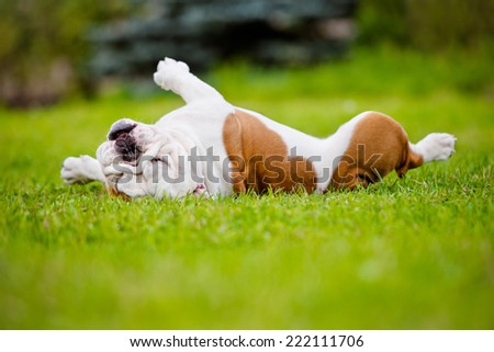 english bulldog rolling on grass - stock photo