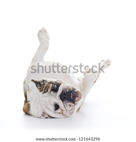 English bulldog rolling over floor, laying upside down, high key - stock photo