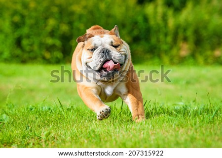 English bulldog running  - stock photo