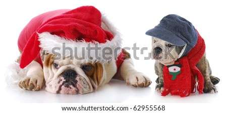 english bulldog santa with young puppy with reflection on white background - stock photo