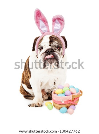 English Bulldog sitting against a white backdrop wearing bunny ears with an Easter basket full of pastel colored eggs.