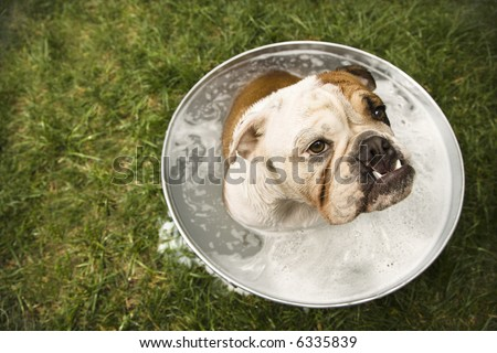 English Bulldog sitting in tub of bath water outdoors. - stock photo