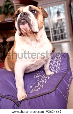 English Bulldog sitting on a lilac bed looking away from the camera - stock photo