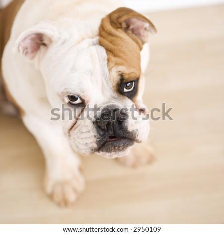English Bulldog sitting on wood floor looking up at viewer. - stock photo