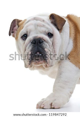 English bulldog standing in front of white background, closeup, looking at camera - stock photo