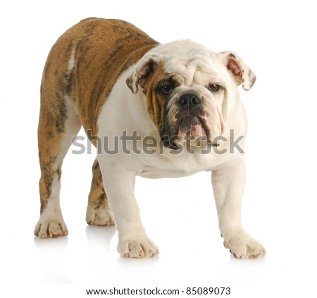 english bulldog standing looking at viewer with reflection on white background - stock photo
