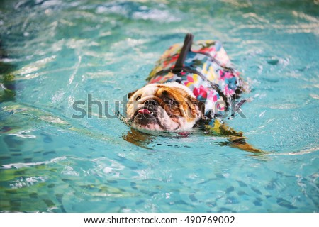 English Bulldog swimming