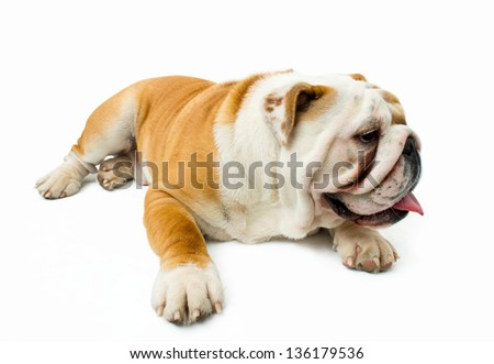 English bulldog tired and resting