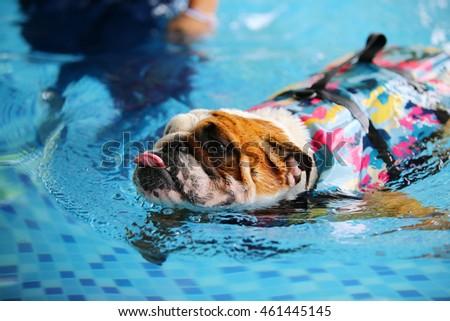 english bulldog wear life jacket swim stock photo edit now