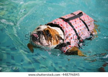 english bulldog wear polka dot pattern stock photo edit now