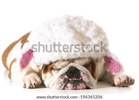 english bulldog wearing lamb hat isolated on white background - stock photo