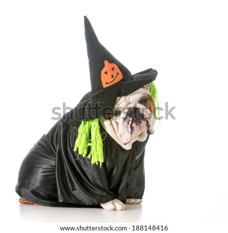 english bulldog wearing witch costume