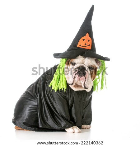 english bulldog wearing witch costume - stock photo