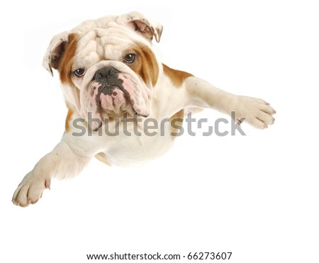 english bulldog with arms out flying on white background - stock photo