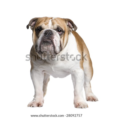 english Bulldog (3 years old) in front of a white background - stock photo