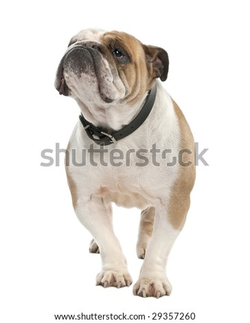 english Bulldog (6 years old) in front of a white background - stock photo