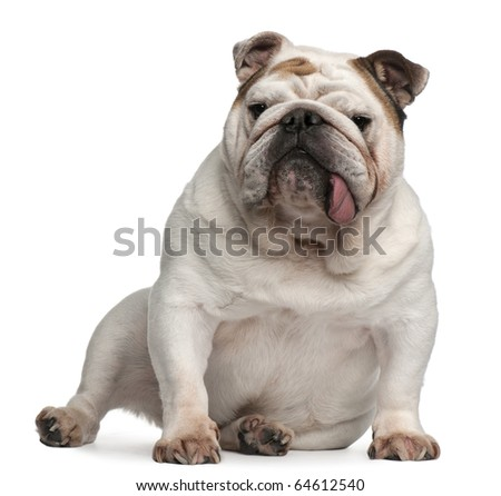 English bulldog, 5 years old, sitting in front of white background - stock photo