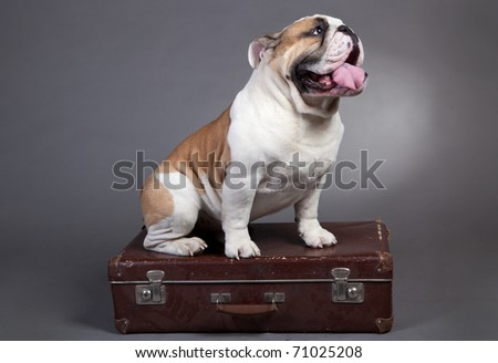 English Bulldog, 2 years old, sitting on a suitcase of gray background.