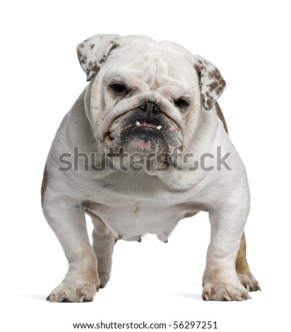 English Bulldog, 5 years old, standing in front of white background - stock photo