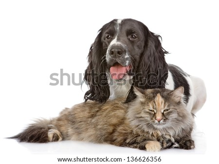 English Cocker Spaniel dog and cat. looking at camera. isolated on white background - stock photo