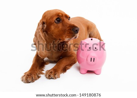 English cocker spaniel dog and pink piggy bank, isolated on white background. - stock photo