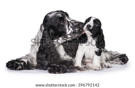 English cocker spaniel dog kissing its puppy - stock photo