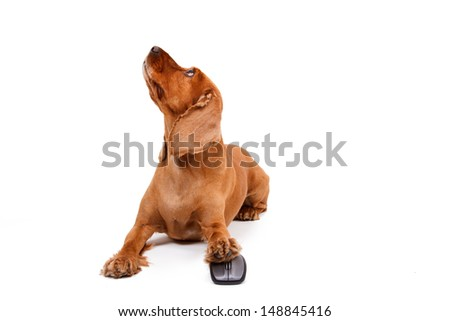 English cocker spaniel dog using computer mouse and looking up, isolated on white background.