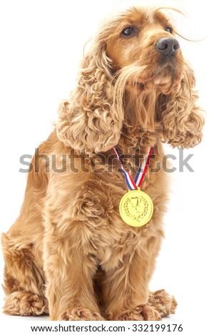 English Cocker spaniel dog wearing prize winning medal - stock photo