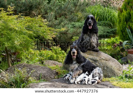 English Cocker Spaniel family, caring female mother with nine very small puppies, 14 days old dogs outdoor on pock. Puppies drinking milk. - stock photo