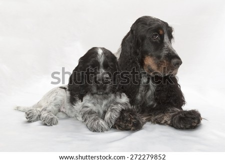 English Cocker Spaniel Family. Seven weeks old. - stock photo