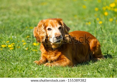 English cocker Spaniel on the green grass