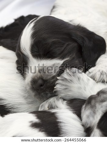 English Cocker Spaniel Puppies Sleeping in a Pile. Three weeks old. - stock photo