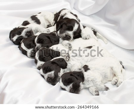 English Cocker Spaniel Puppies Sleeping side by side. Three weeks old. - stock photo