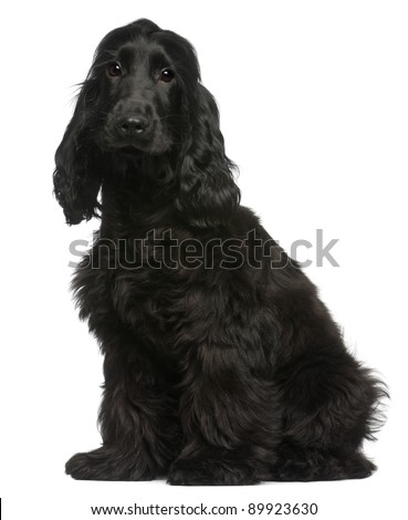 English Cocker Spaniel puppy, 5 months old, sitting in front of white background - stock photo