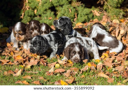 English Cocker Spaniel puppy playing outdoor in autumn sunny day - stock photo