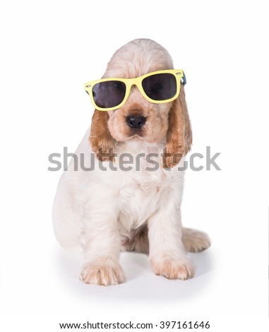 English cocker spaniel puppy with sunglasses isolated on white