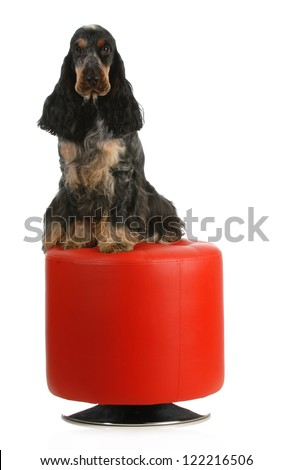 english cocker spaniel sitting on a red stool isolated on white background - stock photo