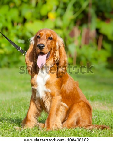 English Cocker Spaniel sitting on grass outdoors, in the park - stock photo