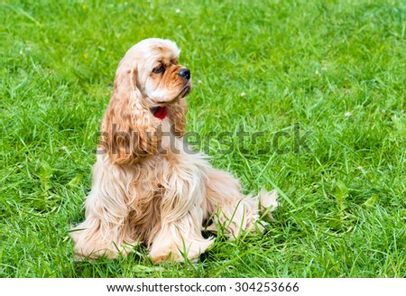 English Cocker Spaniel waits. The English Cocker Spaniel is on the grass.