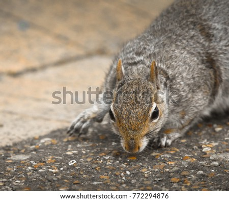 english grey squirrel