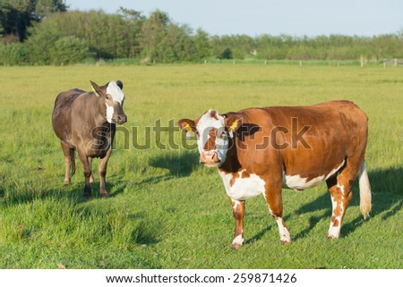 English Herevoort cows in the meadows - stock photo